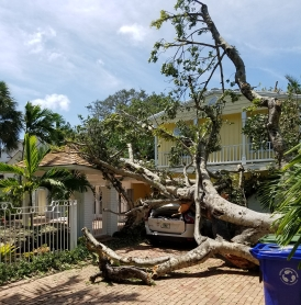 Hurricane Irma Destroyed a Large Banyon Tree.