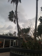 Irma Pushed this Palm Over